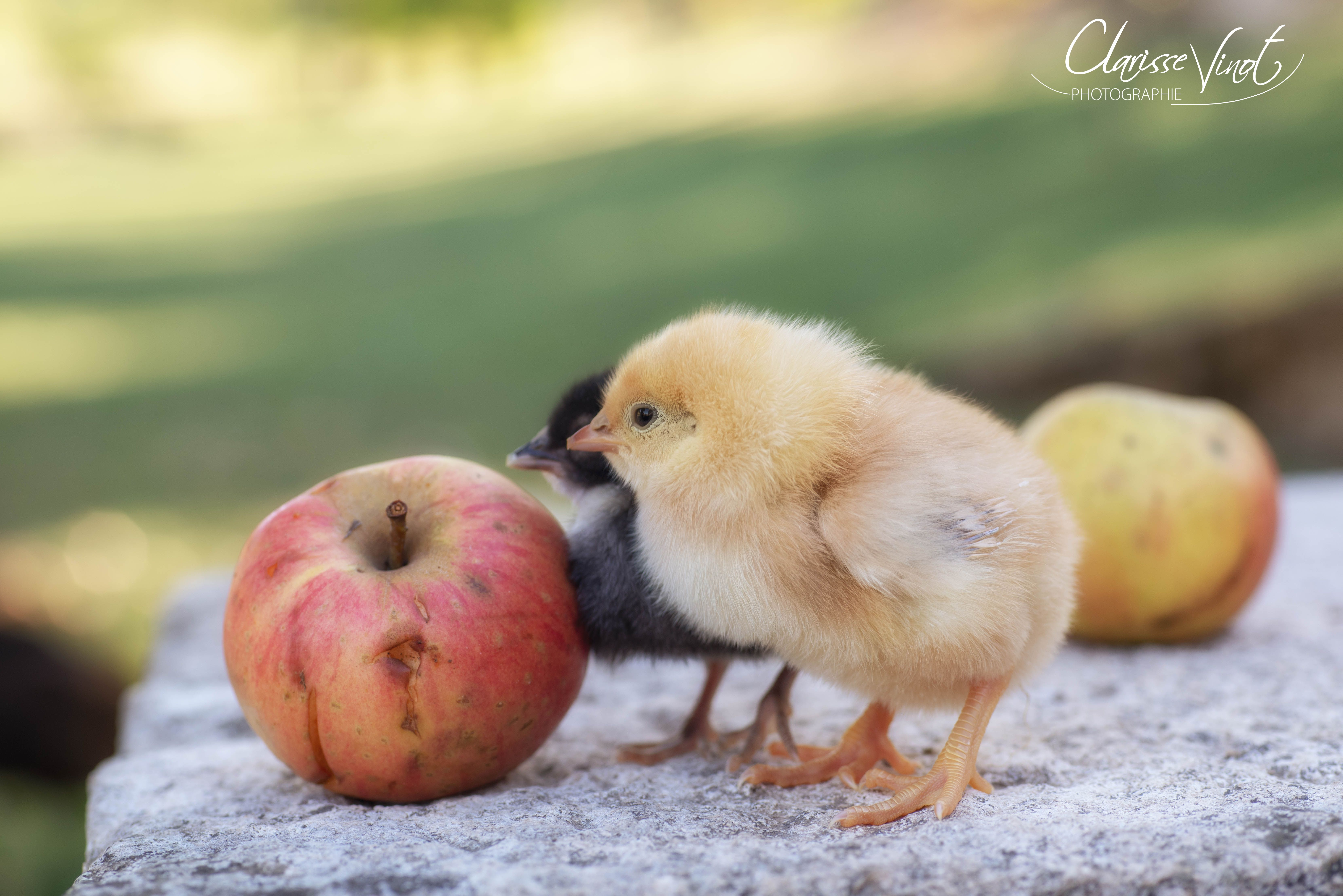 La pomme ou la poule